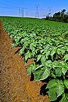 Plantação de batatas em Mogi das Cruzes. São Paulo. 2009. Foto de Alf Ribeiro.