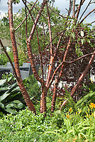 Prunus serrula tree showing bark, in garden