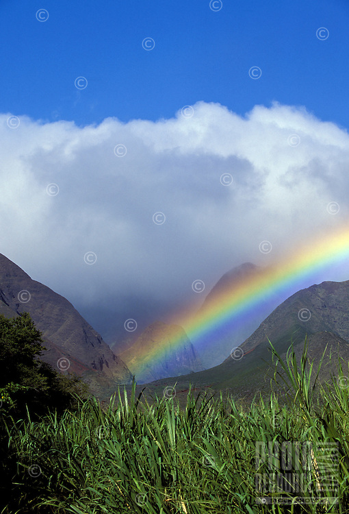 Sugar canes grows at Ukumehame, Maui, with a rainbow in the West Maui Mountains.