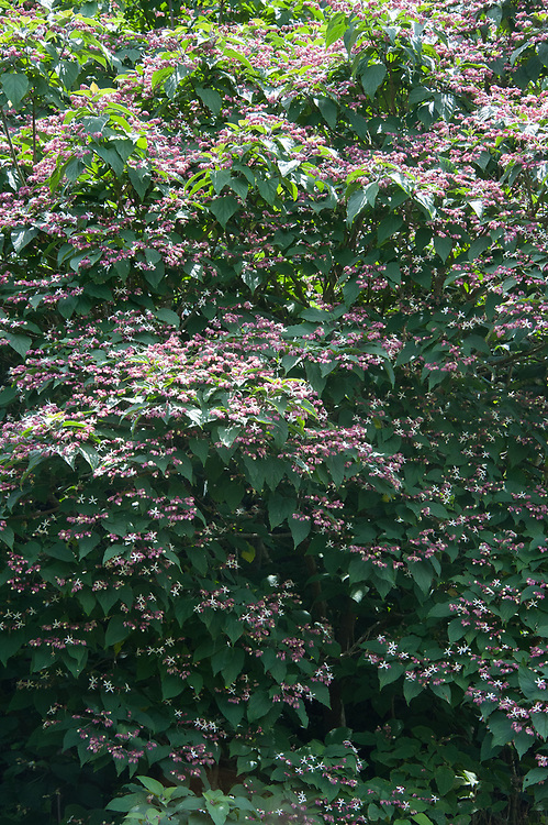 Clerodendrum trichotomum, late July. A tree or large shrub native to Japan, known as Harlequin glorybower or the Glory tree.