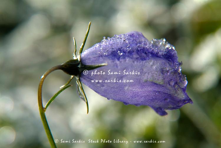 Frozen dew droplets on a purple bell flower (campanula scheuchzeri).