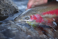 Rainbow trout on the Talkeetna River, Alaska.
