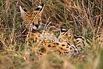 Serval, Ngorongoro Conservation area, Tanzania