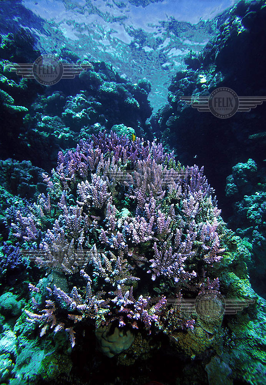 Coral reef in the Red Sea. The clear waters of the Red Sea are popular with divers and snorkelers. Laws have been introduced to protect the underwater environment, and lessen the impact of tourism on corals and other marine life.