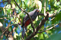 Slaty-Tailed Trogon female, Uaxactun, Peten, Guatemala