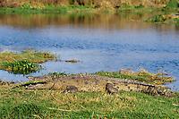American crocodile (Crocodylus americanus), Florida.