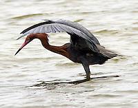 Adult reddish egret in breeding plumage canopy fishing