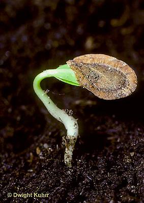 MK24-001b  Milkweed - seed germinating, seedling with seed coat - Asclepias syriaca (see MK23-002c,004h,006e,001b,MK24,005b)