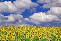 Sunflowers near Sherwood, Oregon.