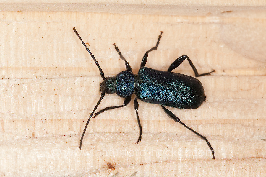 Blauvioletter Scheibenbock, Veilchenbock, Blauer Scheibenbock, Violetter Scheibenbock, Blauer Scheibenbockkäfer, Bockkäfer, Callidium violaceum, violet tanbark beetle, Cerambycidae, longhorn beetle, long-horned beetle, longhorn beetles, long-horned beetles