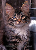 Carl, ANIMALS, photos(SWLA3750,#A#) Katzen, gatos