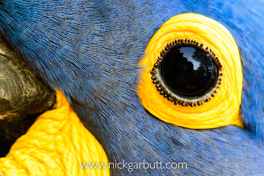 Close-up study of a Hyacinth Macaw (Anodorhynchus hyacinthinus). Pousada Aguape, Moto Grosso do Sul State, Brazil. September.