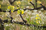 Budding old-vine vineyard in Shenandoah Valley