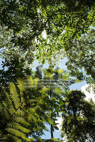 Fazenda Bauplatz, Brazil. Atlantic Rain Forest tree leaves against a blue sky.