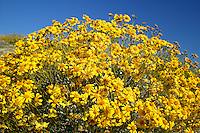 Brittlebush (Encelia farinosa) wildflowers along Christmas Tree Pass road Lake Mead Recreation Area, near Laughlin, Nevada