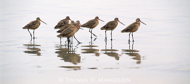 Marbled godwits probe tidal flats searching for aquatic crustaceans and mollusks in Ensenada, Mexico.