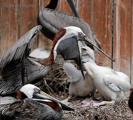 0305-0854  Brown Pelican Feeding Young, Pelecanus occidentalis © David Kuhn/Dwight Kuhn Photography.