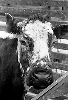 1992 The Blackwater Taverm (owner Teddy O'Neill) Direendraugh, Blackwater, Sneem, County Kerry Ireland 1992:  The Gay Byrne Radio Show, (Ireland's most listened to show) celebrated 'Big Bertha', reaching 48 years of age and appearing in the Guinness Book of Records as the world's oldest cow. In this photograph  Joe Duffy who worked on the show interviews the cow as they broadcast live on air in 1992. Bertha left her 'mark' on the floor during the transmission.<br /> Big Bertha died on New Year's Eve 1993.<br /> Photo: Don MacMonagle <br /> e: info@macmonagle.com