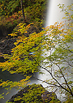 Silver Falls State Park, OR: A vine maple with early fall color at the base of North Falls in Silver Creek Canyon