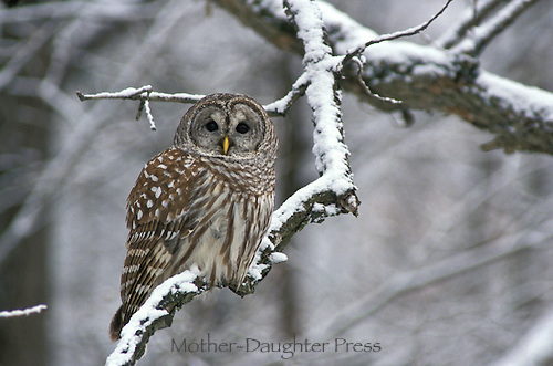 Barred owl, Strix varia, perched on snowy branch, New England, Groton Vermont