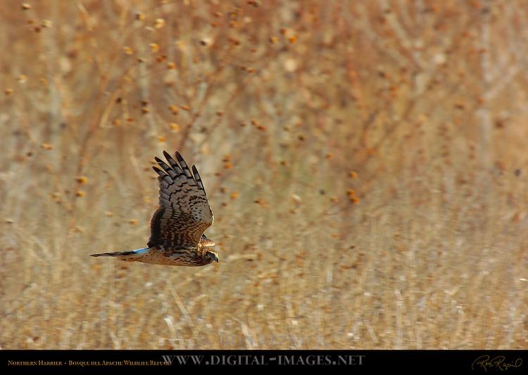 Northern Harrier, Bosque del Apache Wildlife Refuge, New Mexico