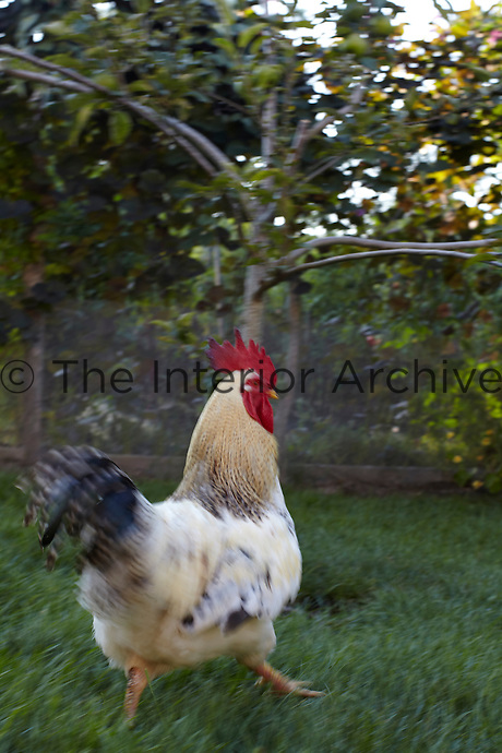 A fancy cockerel struts his stuff in the garden