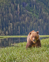 Grizzly bear eating grass in the Khutzeymateen Valley