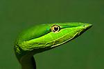 Green Vine Snake (Oxybelis fulgidus), Costa Rica.