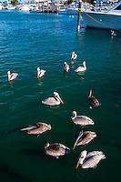 US, Florida, Key West. Brown Pelicans.