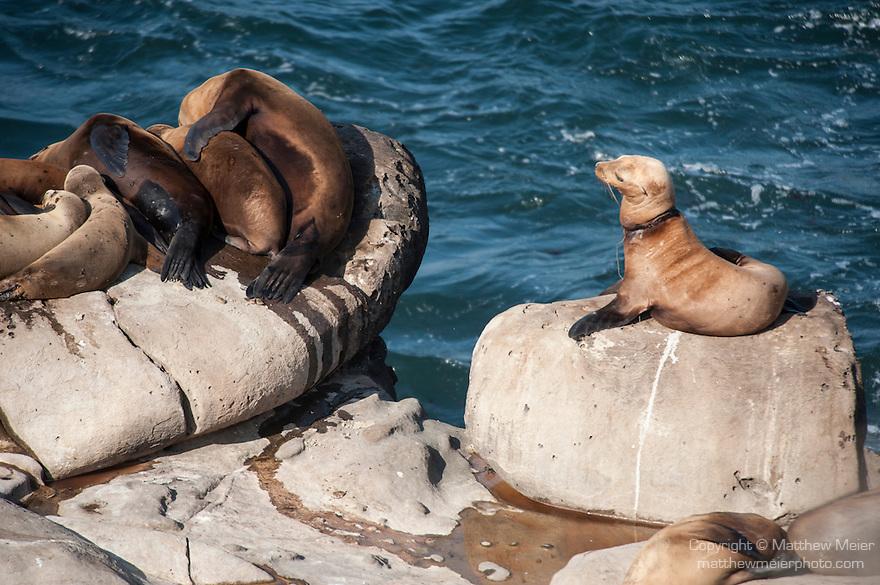 La Jolla Cove, La Jolla, California; a California Sea Lion (Zalophus californianus) with fishing line around it's neck, sitting on the rocky shoreline at La Jolla Cove