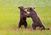 A photo of two Alaska grizzly cubs play fighting in the grass. Grizzly Bear or brown bear alaska Alaska Brown bears also known as Costal Grizzlies or grizzly bears