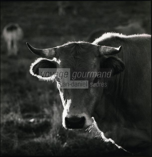 Europe/France/Midi-Pyrénées/12/Aveyron/env Laguiole : Vache de race Aubrac en pâturage