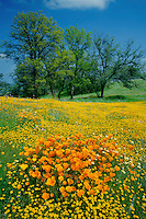 California poppies, cream cups, goldfields and valley oaks<br />