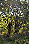 Trees silhouetted by afternoon sun seen in the Esopus Bend Nature Preserve, in Saugerties,NY, on Wednesday, August 16, 2017. Photo by Jim Peppler. Copyright/Jim Peppler-2017.