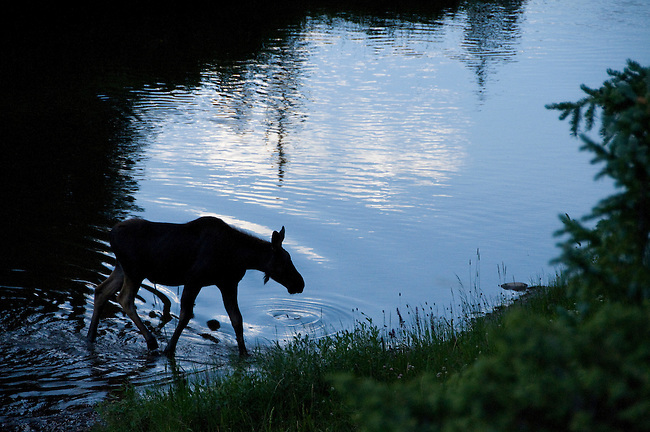 moose, calf, Alces alces, wildlife, mammal, water, reflection, shore, Colorado River, summer, August, nature, evening, Kawuneeche Valley, Rocky Mountain National Park, Colorado, USA
