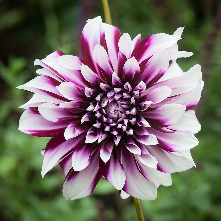 Dahlia 'Edinburgh', mid August. A large 1950s Decorative Group dahlia with rich, purple-red petals, tipped white.