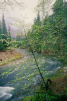 Mountain dogwood and Merced River<br />