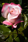 Rose, Portland Rose Garden, Oregon