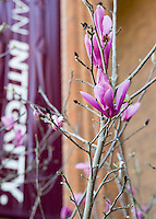 Japanese Magnolia detail at McCool Hall.<br /> (photo by Mitch Phillips / &copy; Mississippi State University)