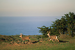 Two mule deer bucks run across green grass field next to ocean, Point Reyes National Seashore, Marin, California