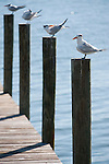 Captiva Island, Florida; Royal Tern (Thalasseus maximus) birds on top of every piling of a wooden pier © Matthew Meier Photography, matthewmeierphoto.com All Rights Reserved