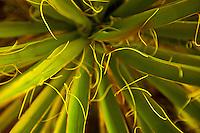 Yucca Up Close