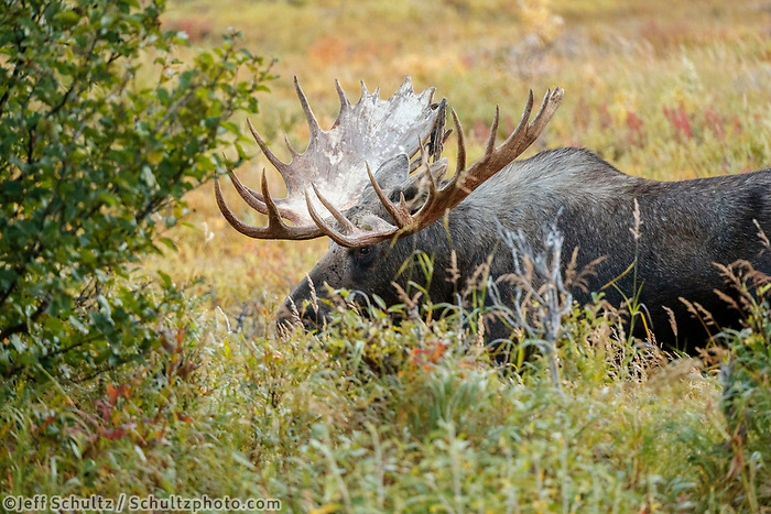 Fall landscape portrait of Bull moose in powerline valley of Glen Alps area in Chugach Mountains near Anchorage, Alaska.  Chugach State Park. <br /> <br /> Photo by Jeff Schultz/SchultzPhoto.com  (C) 2018  ALL RIGHTS RESERVED