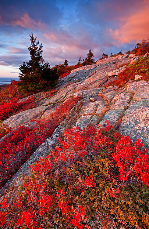 Low sweet blueberry glows beneath on incoming storm at sunrise atop Cadillac Mountain in autumn at Acadia National Park, Maine, USA
