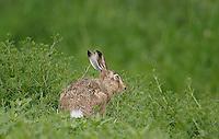 Europäischer Feld-Hase, Feldhase, Hase, Lepus europaeus, European hare