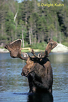 MS01-051z  Moose - bull (male) feeding at Sandy Stream Pond in Baxter State Park, Maine - Alces alces