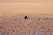 Carrion Crow (Corvus corone corone) feeding on molluscs on sandy beach, Ainsdale, with a very cold winter wind whipping across the beach in the last sunlight of the day.