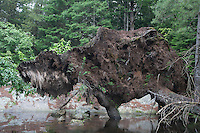 Blown-down tree roots; looks like a bison; NY, Adirondack Park; Bog River