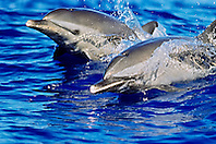 pantropical spotted dolphins, Stenella attenuata, wake-riding, Kona Coast, Big Island, Hawaii, USA, Pacific Ocean