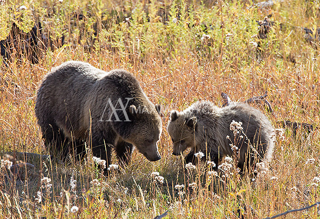 The grizzly bear known as Raspberry and her lone surviving cub dig for food in autumn.